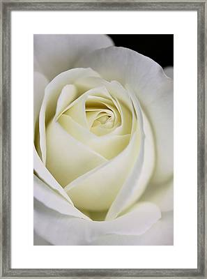 Queen Ivory Rose Flower 2 Framed Print by Jennie Marie Schell