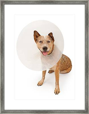 Queensland Heeler Dog Wearing A Cone Framed Print by Susan Schmitz
