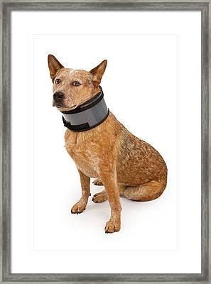 Queensland Heeler Dog Wearing A Neck Brace Framed Print by Susan Schmitz