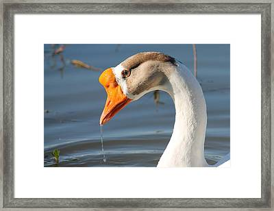 Quenching Thirst Framed Print by Lorri Crossno