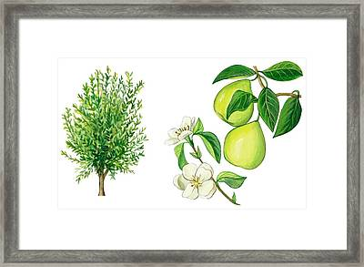Quince Tree Framed Print by Anonymous