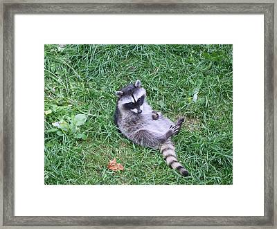 Raccoon Plays In The Grass Framed Print by Kym Backland