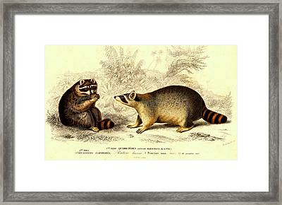 Raccoons Framed Print by Collection Abecasis