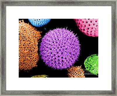 Radiolarian Sem Framed Print by Biophoto Associates