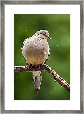 Rain Dove Framed Print by Christina Rollo