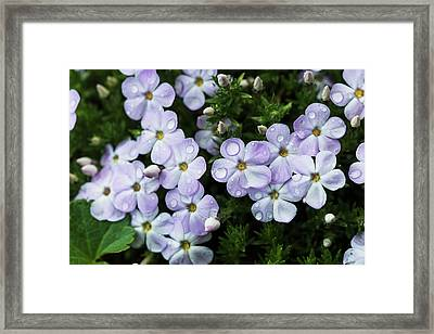 Rain Falls Onto Phlox Blossoms  Hamlet Framed Print by Robert L. Potts
