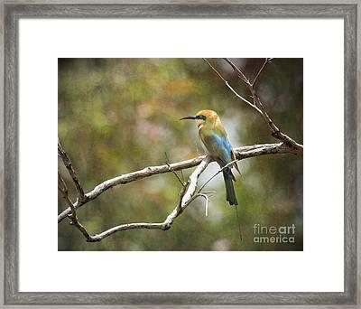 Rainbow Bee-eater Framed Print by Kym Clarke