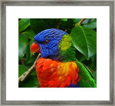 Rainbow Lorikeet Deep In Thought Framed Print by Margaret Saheed