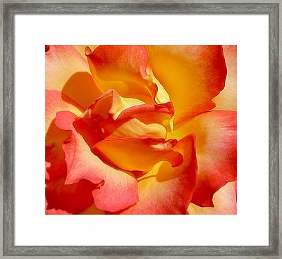 Rainbow Sorbet Rose Close Up Framed Print by Denise Mazzocco