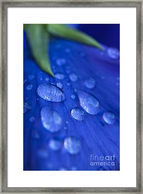 Raindrop Pansy Framed Print by Anne Gilbert