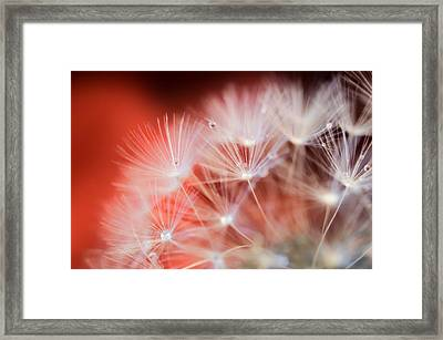Raindrops On Dandelion Red Framed Print by Marianna Mills