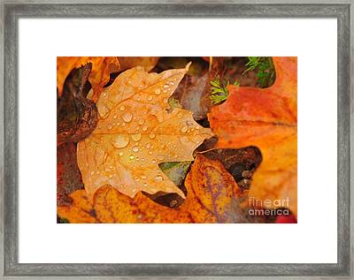 Raindrops On Fallen Maple Leaf Framed Print by Terri Gostola