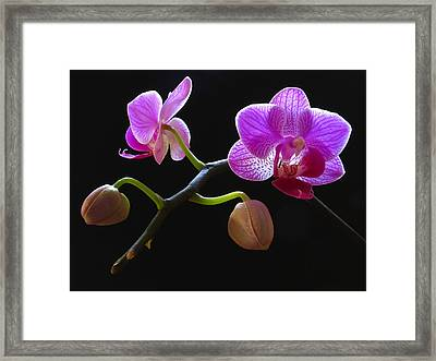 Rare Beauty Framed Print by Juergen Roth