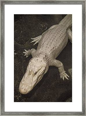Rare White Alligator Framed Print by Garry Gay