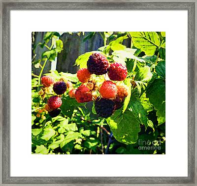 Raspberries A La Fence Framed Print by Luther   Fine Art