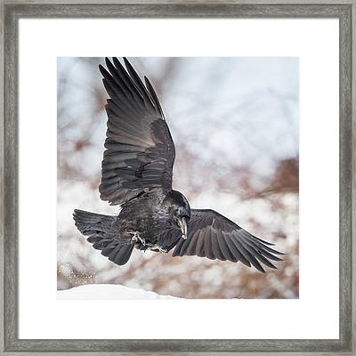 Raven In Flight Square Framed Print by Bill Wakeley