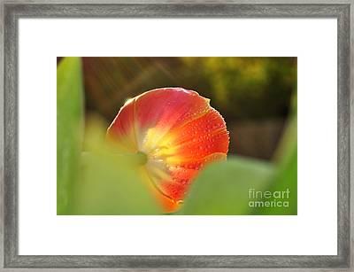 Rays Of Sunshine On Tulip Framed Print by Kaye Menner