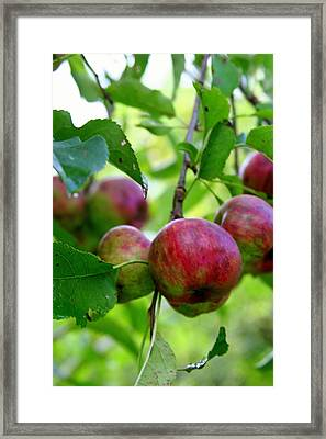 Ready For Picking Framed Print by Paula Tohline Calhoun