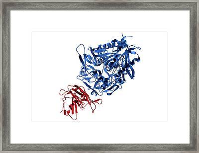 Receptor Of Mers Virus Framed Print by Kateryna Kon