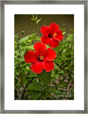 Red - Beautiful Hibiscus Flowers In Bloom On The Island Of Maui. Framed Print by Jamie Pham
