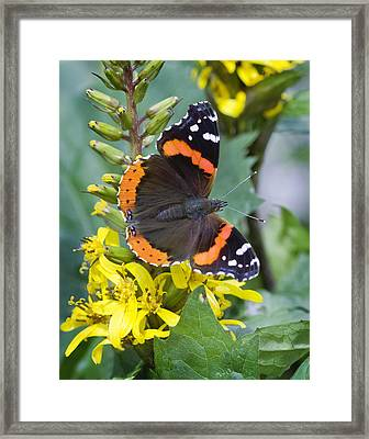 Red Admiral Framed Print by Barbara Smith