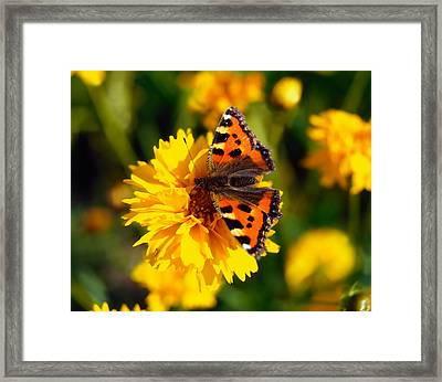 Red Admiral Butterfly On Tickseed Co Framed Print by The Irish Image Collection