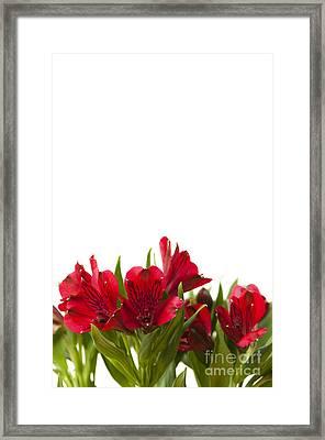 Red Alstroemeria Framed Print by Anne Gilbert