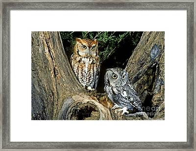 Red And Gray Screech Owls Framed Print by G Ronald Austing