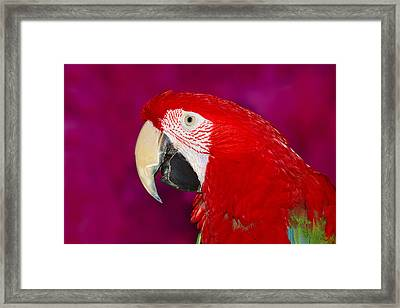 Red And Green Macaw Framed Print by Tony Beck