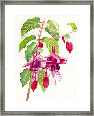 Red And Purple Fuchsias Framed Print by Sharon Freeman
