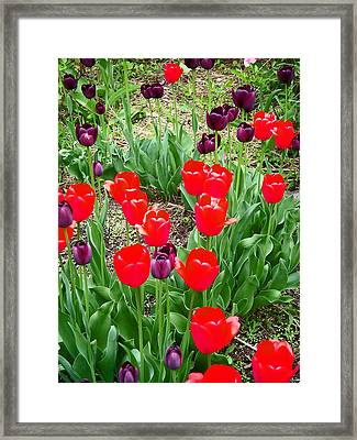 Red And Purple Tulips Framed Print by Aimee L Maher Photography and Art Visit ALMGallerydotcom