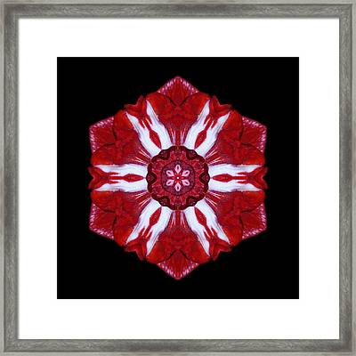 Red And White Amaryllis Iv Flower Mandala Framed Print by David J Bookbinder