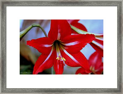 Red And White Lilly Framed Print by Debra Forand