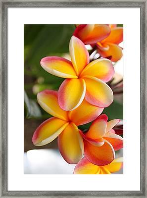 Plumeria Smoothie Framed Print by Brian Governale