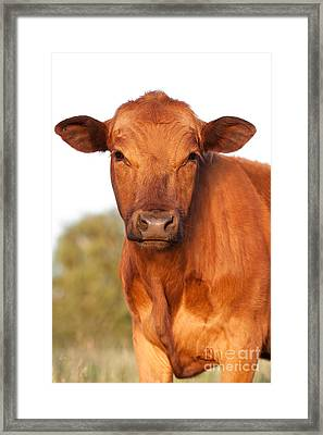 Red Angus Cow Framed Print by Cindy Singleton