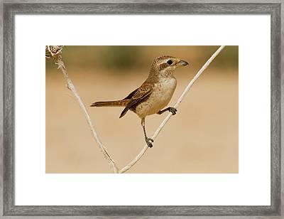 Red-backed Shrike (lanius Collurio) Framed Print by Photostock-israel