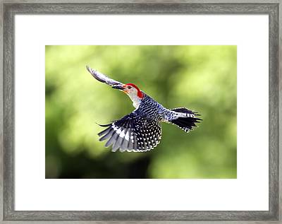 Red-bellied Woodpecker Flight Framed Print by David Lester