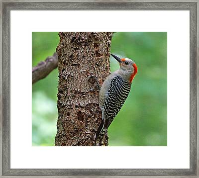 Red Bellied Woodpecker Framed Print by Sandy Keeton