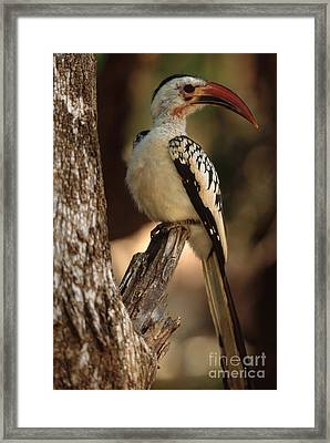 Red-billed Hornbill Framed Print by Art Wolfe
