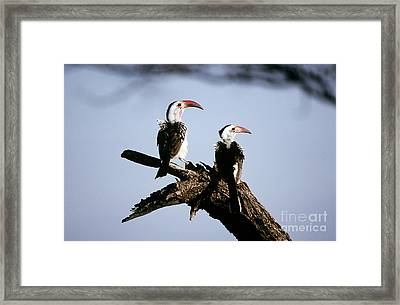 Red-billed Hornbills Framed Print by Art Wolfe