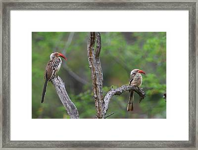 Red-billed Hornbills Framed Print by Bruce J Robinson