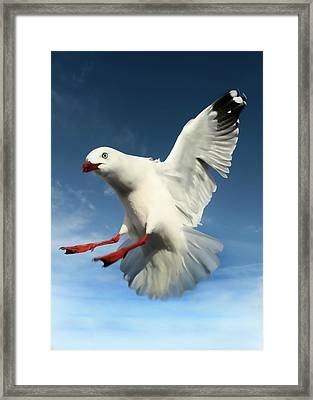 Red Billed Seagull  Framed Print by Amanda Stadther