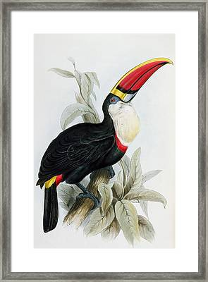 Red-billed Toucan Framed Print by Edward Lear