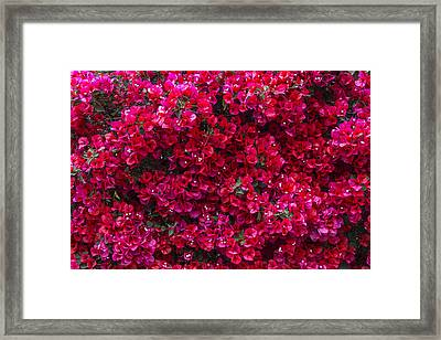 Red Bougainvillea Framed Print by Garry Gay
