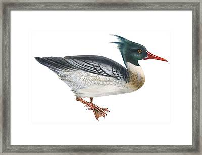 Red-breasted Merganser Framed Print by Anonymous