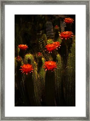 Red Cactus Flowers II  Framed Print by Saija  Lehtonen