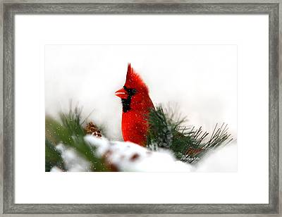 Red Cardinal Framed Print by Christina Rollo