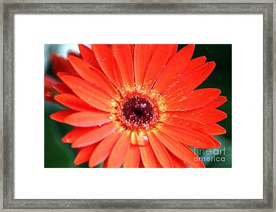 Red Chrysanthemum Flower Framed Print by Mrsroadrunner Photography