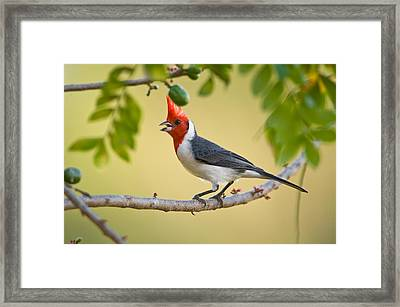 Red-crested Cardinal Paroaria Coronata Framed Print by Panoramic Images