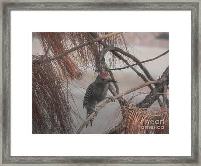 Red Crested Wood Pecker In Az Framed Print by Chrisann Ellis